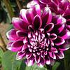 """Dahlia """"Waterlelie"""" Deze geheel gevulde dahlia's hebben enigszins komvormige kroonbladen die onmiddellijk doen denken aan een waterlelie. De totale indruk is vrij plat.<br />  <br /> """"Dahlia"""" Pas later werd deze plant """"herontdekt"""" als sierplant. <br /> Er bestaat een zeer ruime keuzemogelijkheid aan Dahlia-hybriden, dit in vele kleurentypes en verschillende soorten en met varierende bloemdiameter van 5 tot 30 cm."""