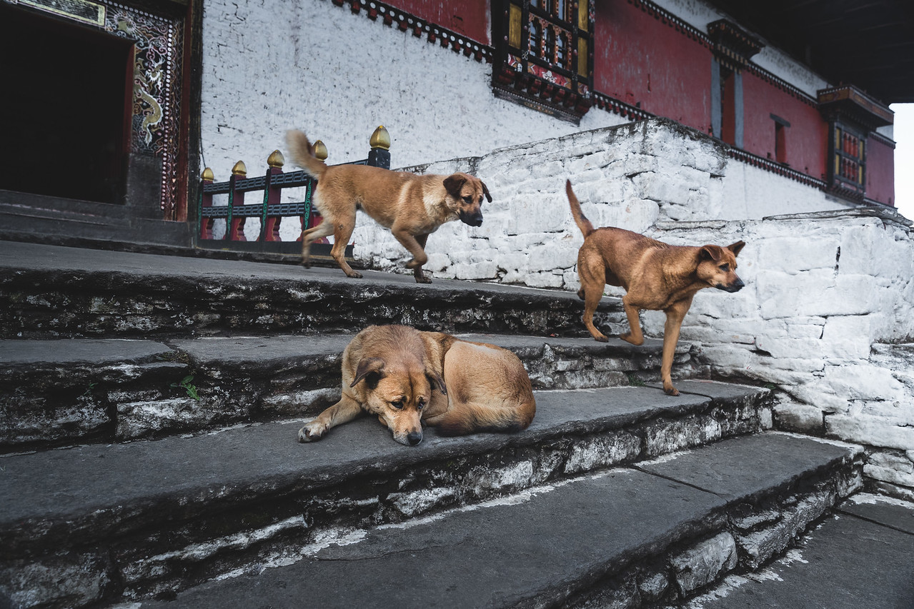 Stray Dogs at a temple in Paro, Bhutan