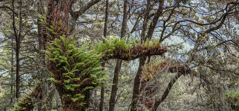 On the trail to Taktsang, Bhutan. Dense woods along the trail include many trees with fern growths like this one.