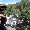 the tree in the courtyard of Punakha Dzong