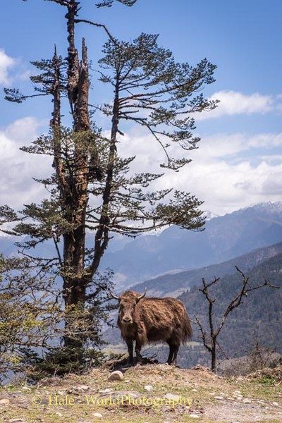 The Lonely Yak - #4