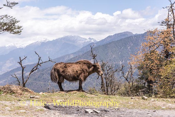 The Lonely Yak - #2