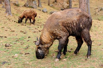 Takin - Budorcas taxicolor - Gedeantilope - Bhutan