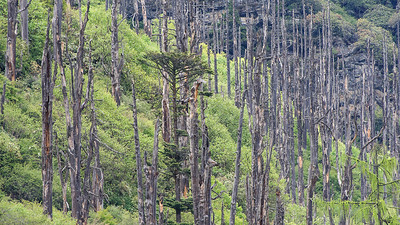 Old, dead Fir forest, Chele La, Bhutan
