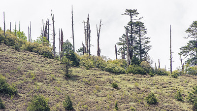 Fir trees at the upper forest's edge, with Rhododendron undergrowth, Chele La, Bhutan