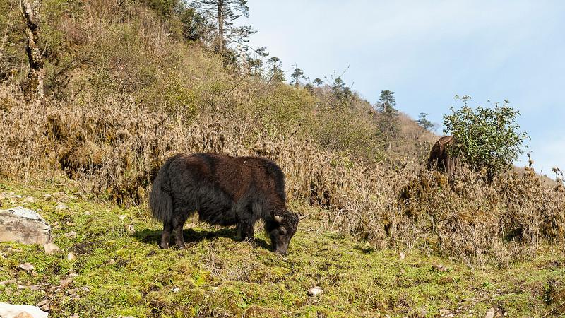Yak Ox grazing on Dwarf Bamboo, near the pass at Pele La, 3420 m, Bhutan