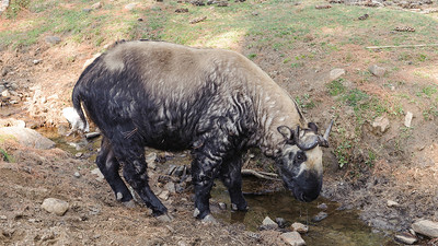 Takin - Budorcas taxicolor - Gedeantilope, Bhutan