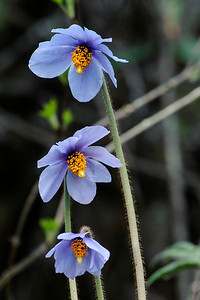 Common Blue Poppy - Meconopsis simplicifolia, Chelela, Bhutan
