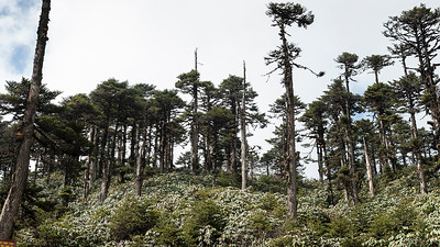 Fir - Abies densa - with Rhododendron undergrowth, Chele La, Bhutan