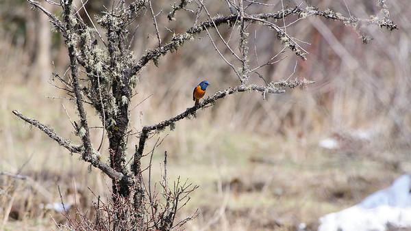 Blue-fronted Redstart, Chele La, Bhutan
