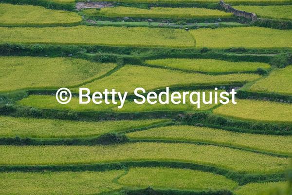 Rice Paddies near Paro