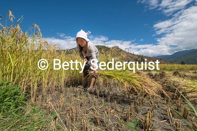 Harvesting Red Rice