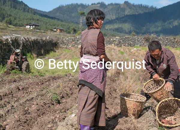 Harvesting of Potatoes, Phobjikha Valley