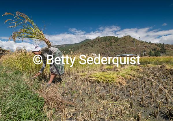 Rice Harvest, Paro