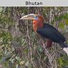 Rufous-necked Hornbill in Bhutan by Doug Cheeseman in May 2008.