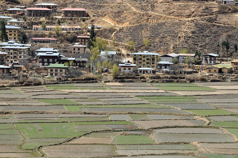Rice Fields - Paro