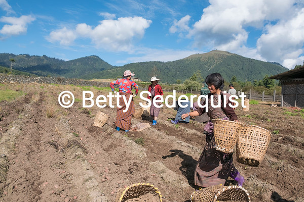 Potato Harvest, Phobjikha Valley