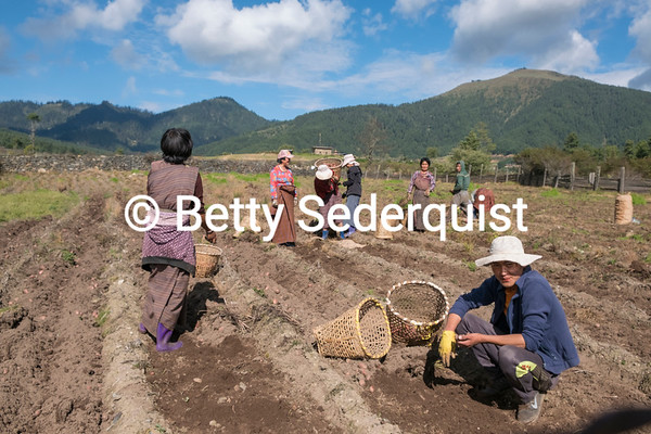 Harvesting Potatoes, Phobjikha Valley