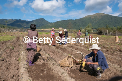 Harvesting Potatoes, Phobjikha Valley