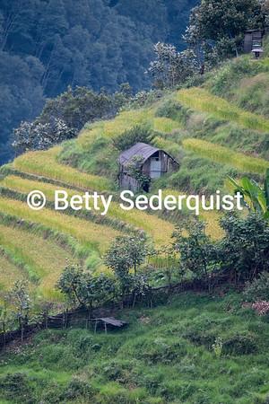 Rice Paddies on Steep Hillside, Trongsa