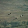 Black-necked cranes returning to roost