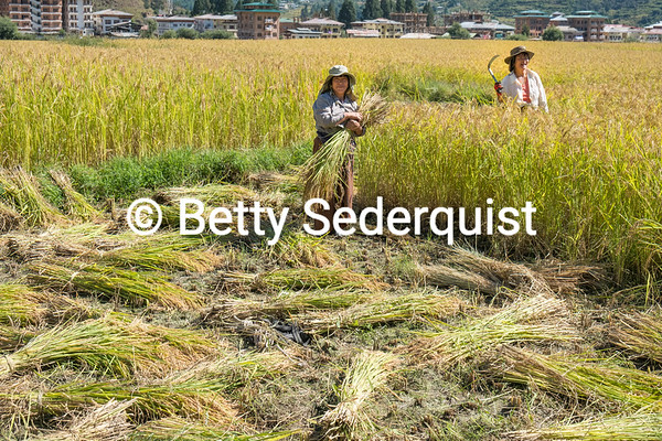 Rice Harvest Near Paro