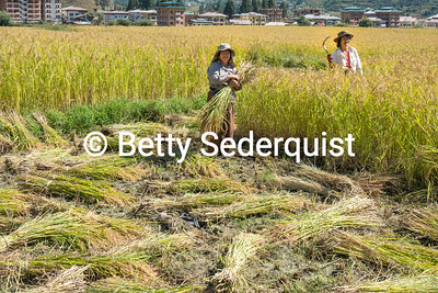 Rice Harvest Near Paro