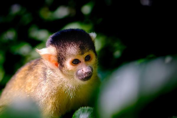 Doodshoofdaapje   Squirrel monkey [#021]