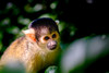 Doodshoofdaapje | Squirrel monkey [#021]
