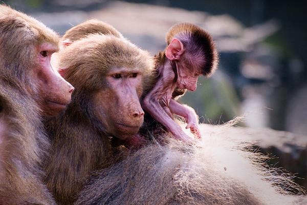 Generaties apen   Monkey generations [#007]