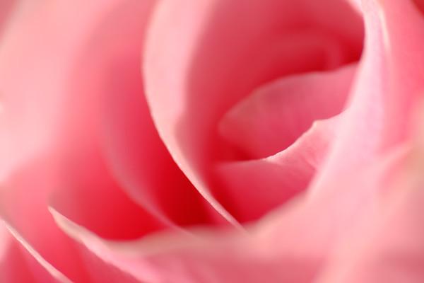 Soft rose - imagine