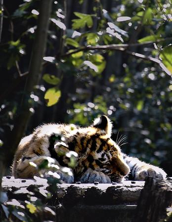 Tijgerwelp   Little tiger cub [#002]