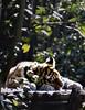 Tijgerwelp | Little tiger cub [#002]