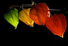 Chinese lantern flowers [#026]