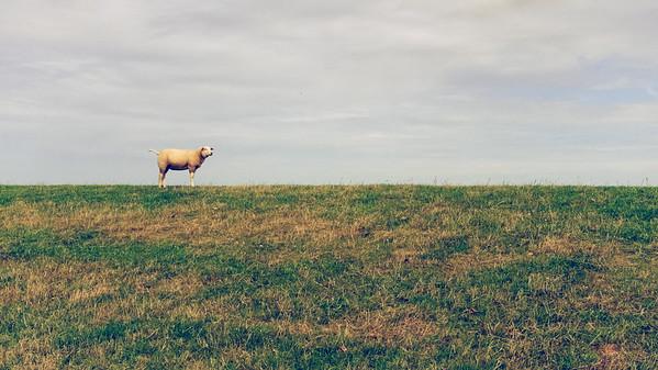 Schaap op de horizon | sheep on the horizon [#010]