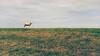 Schaap op de horizon   sheep on the horizon [#010]