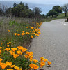 California poppies along Meyer's Grade Rd.