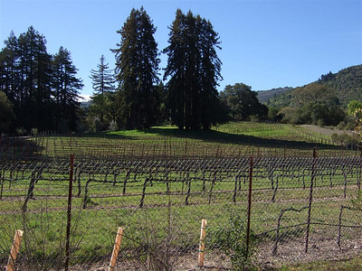 These redwoods are a display of the classic formation where a mother plant produces a ring of offspring around her. It is a little early for the vineyards, so they aren't looking their best.