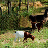 549 Goats Llama