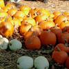 538 Pumpkins