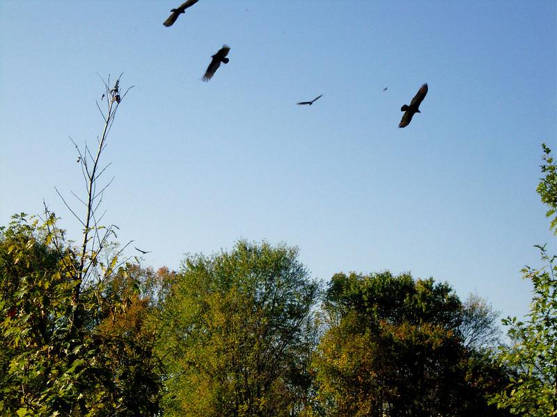 521 Vultures