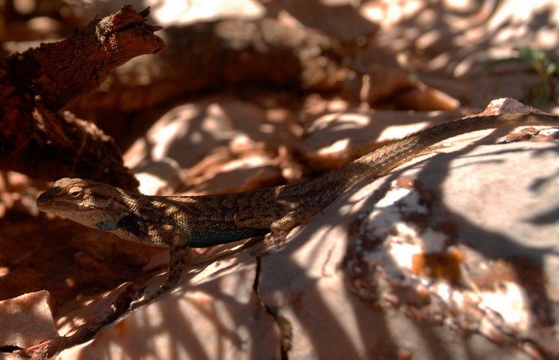 Blue-bellied lizard on the Kaibab Trail, Grand Canyon NP.