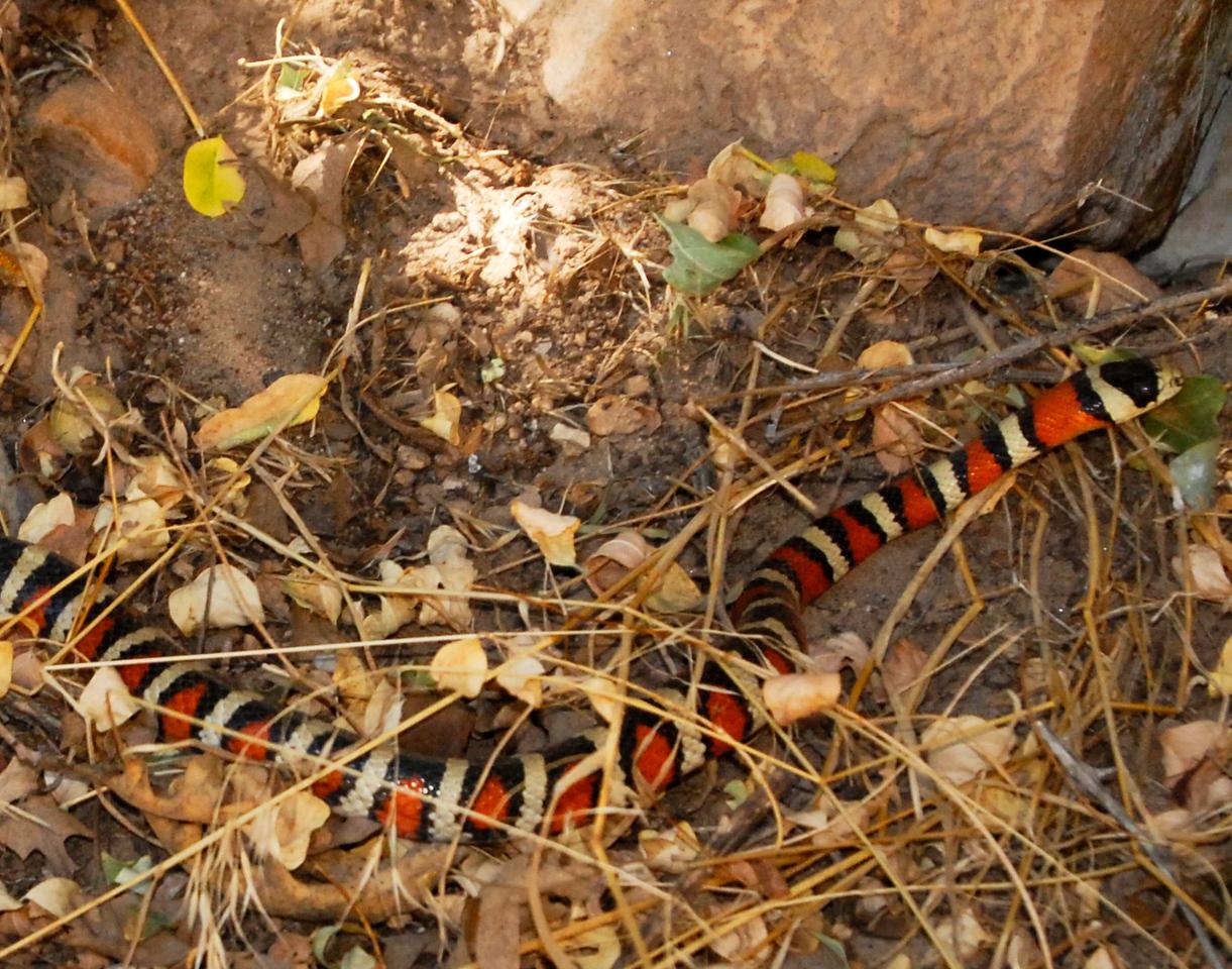 Coral snake, Kaibab Trail.