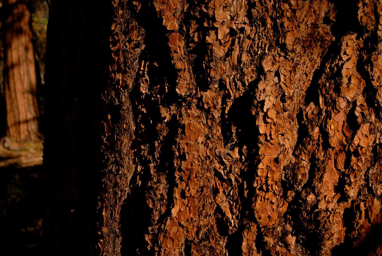 Ponderosa pine bark.