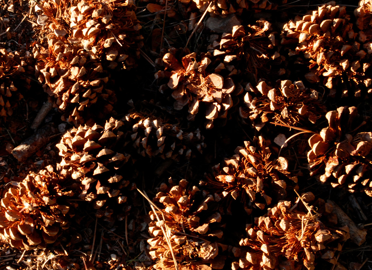 Ponderosa pine cones.