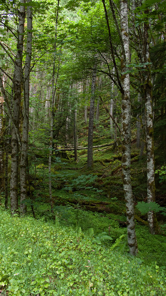 Forest along NF-90.  So lush!