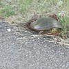 """<a href=""""http://www.turtlerescueleague.com/turtle-in-my-yard"""">http://www.turtlerescueleague.com/turtle-in-my-yard</a><br /> """"....Nest selection is a very special process. That turtle in your yard chose your yard. Turtles visually look for a spot, then they sniff and rub their faces into the soil, and finally they dig. If something is not to their liking, they will keep searching, even if they already dug a deep hole. The turtle knows how important this act of nesting is for her species survival and so should we! Too many local populations are collapsing and it is all because that mother turtle, looking for a special spot, is unable to complete her task. ...""""<br /> <br /> <br /> Giant Leatherback Turtle Will Inspire You to Do Everything You Can to Protect the Oceans (VIDEO/PHOTOS)<br /> <a href=""""http://www.onegreenplanet.org/news/giant-leatherback-turtle-protect-oceans/"""">http://www.onegreenplanet.org/news/giant-leatherback-turtle-protect-oceans/</a><br /> <br /> <a href=""""https://www.facebook.com/1787534361480226/videos/pcb.2141356472764678/2141354776098181/?type=3&theater"""">https://www.facebook.com/1787534361480226/videos/pcb.2141356472764678/2141354776098181/?type=3&theater</a>"""