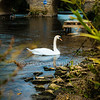 Lonely Swan In Bidford 2