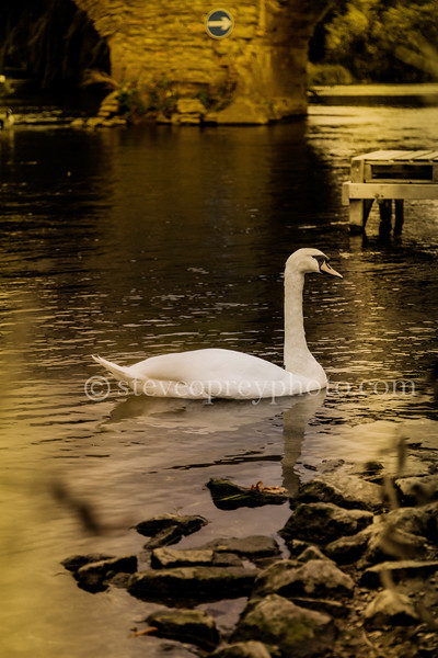 Lonely Swan In Bidford 3