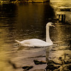 Lonely Swan In Bidford 3